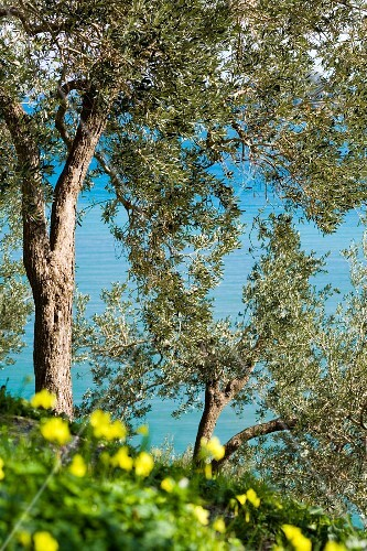 Mature olive trees close to the sea