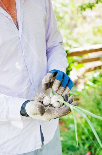 Gardener holding white onions in hands