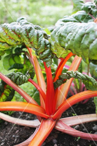 Red chard in a vegetable patch