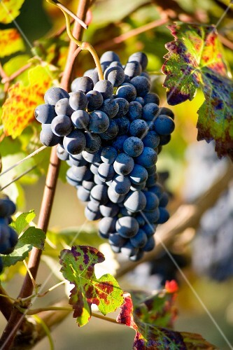Barbera grapes in the sunshine