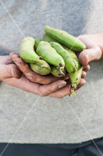 Hands holding fresh broad beans