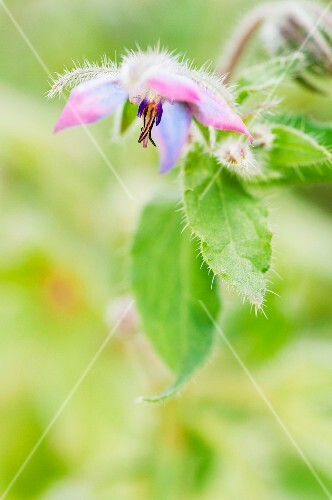 Borage flower (Borage offincinalis) with leaves
