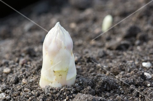 White asparagus in the ground (close-up)