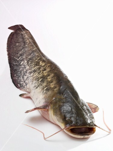A whole wels catfish