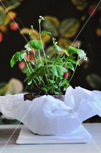 A strawberry plant in a pot on paper