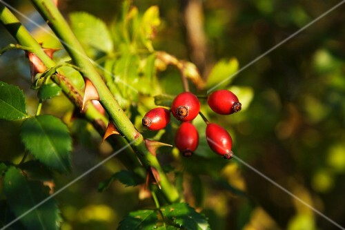 Rose hips on the bush