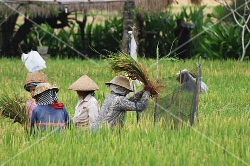 At work during the rice harvest