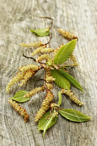 Beech catkins and leaves on a wooden surface