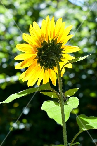 A vibrant yellow sunflower