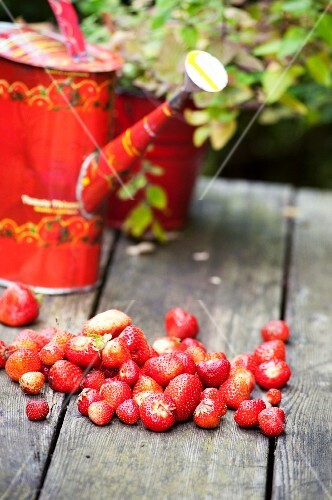 Strawberries and a watering can on a wooden table in the garden