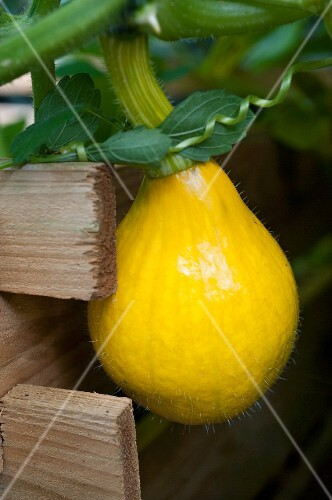 A small Hokkaido squash on the plant in a raised bed