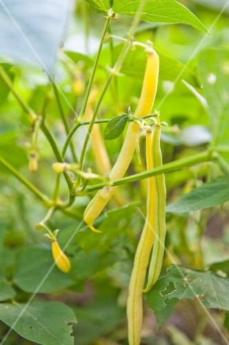 Yellow beans on the plant