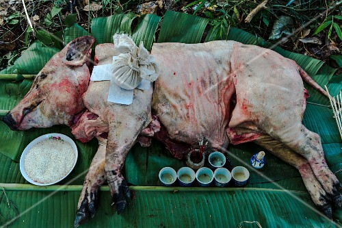 A pig as an offering of a mountain tribe (Chiang Rai, Thailand)