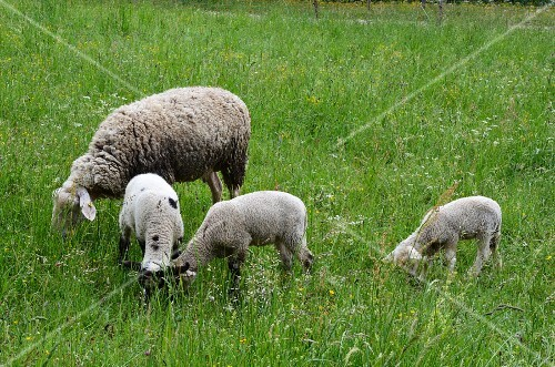 A sheep with three lambs in the field