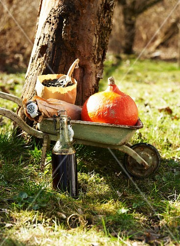 A pumpkin outside in a wheelbarrow