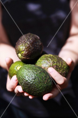A woman's hands holding freshly picked avocados