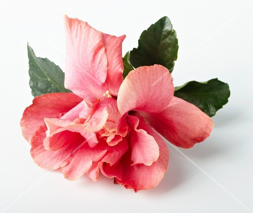 A double hibiscus flower