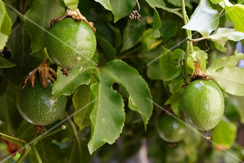 Passionfruit on the plant