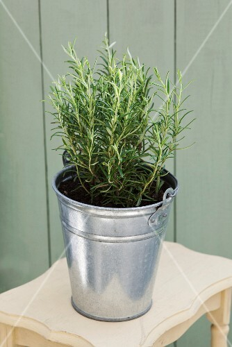 A pot of rosemary in a zinc bucket