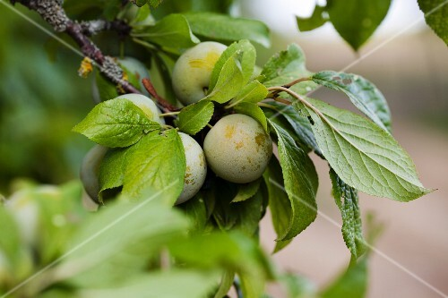 Greengages on the tree (close-up)