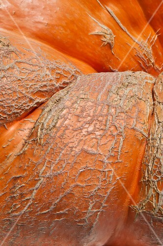 The skin of a giant pumpkin (detail)