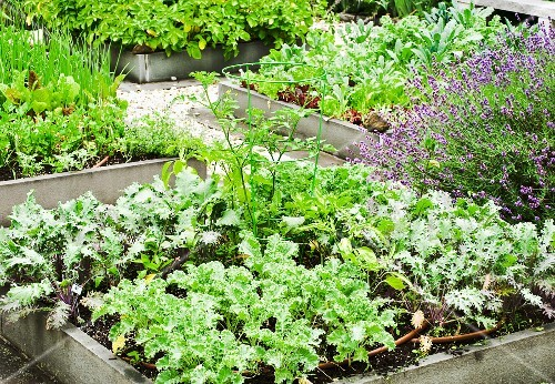 Various vegetable plants in a raised bed