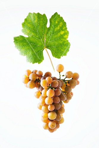 Gewürztraminer grapes with a vine leaf