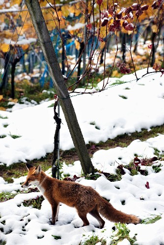 A fox looking for food in a snowy vineyard in autumnal colours