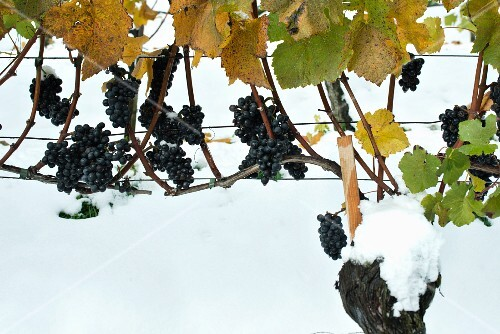 October snow, red grapes on a vine after a snowfall before harvest