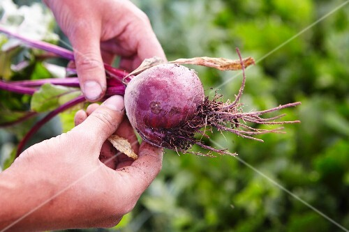 Hands holding a beetroot