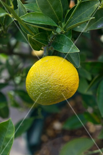 A yuzu on a bush