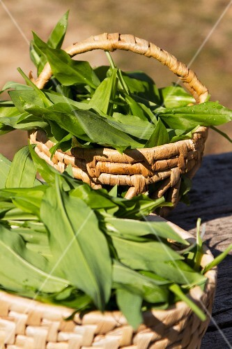 Freshly harvested wild garlic