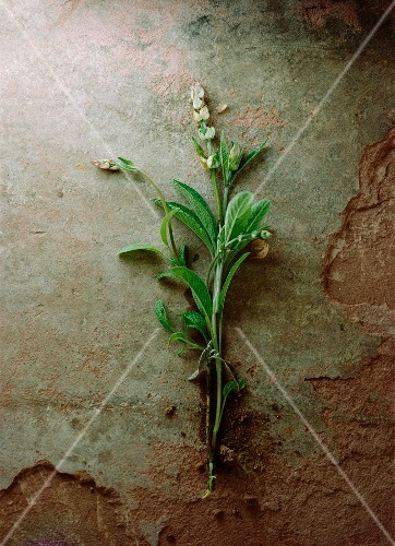 A sprig of sage with flowers