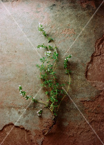 Sprigs of thyme with flowers