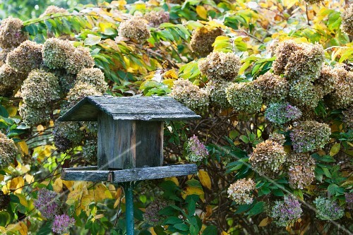 Bird table amongst wilting hydrangeas