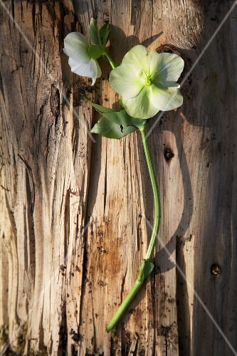 White primroses on a piece of bark