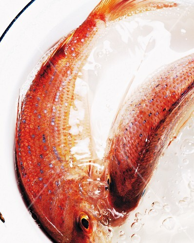 Fresh red mullet in a bowl of water