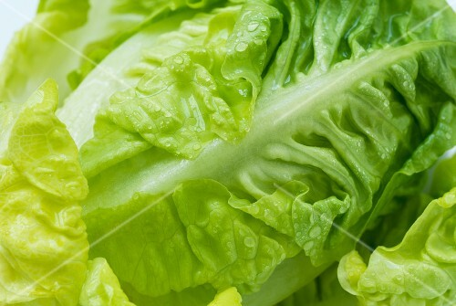 A freshly washed lettuce (close-up)