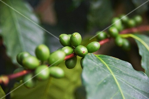 Coffee beans on the plant