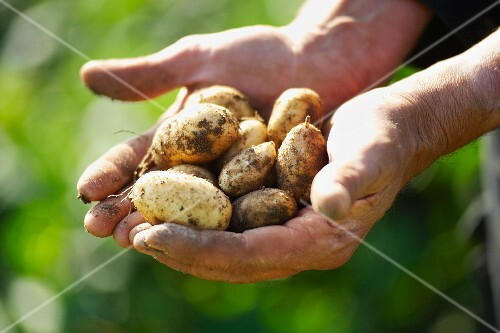 Hands holding freshly dug Jersey Royal potatoes
