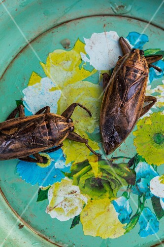 Mangda (giant water beetles, Laos)