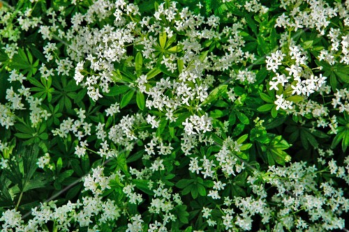 A bed of woodruff (seen from above)