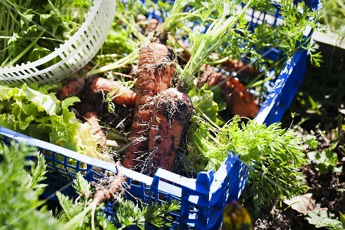 Freshly harvested carrots in a plastic crate