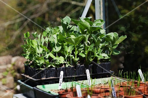 Various vegetable plants in germination pots in a greenhouse