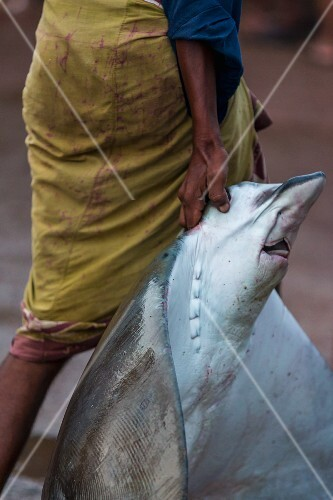 A man carrying a ray fish at the fish market in Negombo, Sri Lanka