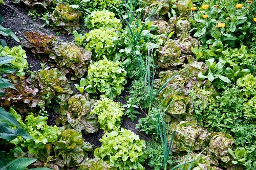 Various organic lettuces growing in a field
