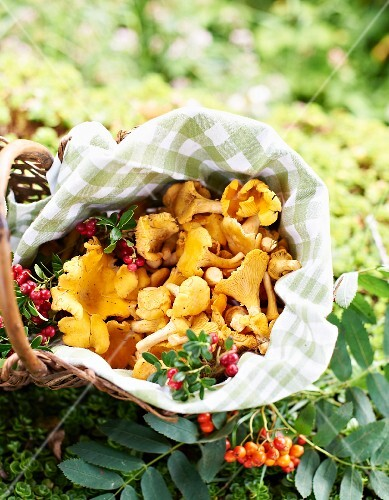 Freshly picked chanterelle mushrooms in a basket on the forest floor