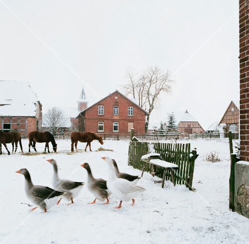 Horses and geese on a farm in winter (Germany)