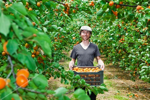 A young man with freshly harvested apricots