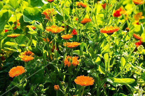 A field of marigolds